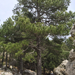 Black Pine - Photo (c) Jaume Vila, all rights reserved