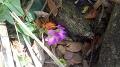 Image of Calandrinia ciliata