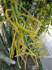 Dypsis lutescens image