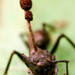 Ophiocordyceps unilateralis - Photo (c) Alex Teo Khek Teck, todos os direitos reservados, uploaded by Alextkt 张惟迪
