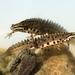 Salamandras Y Tritones - Photo (c) Konstantinos Kalaentzis, todos los derechos reservados