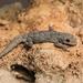 Mediodactylus danilewskii - Photo (c) Konstantinos Kalaentzis, todos os direitos reservados