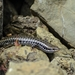 Levant Skink - Photo (c) Konstantinos Kalaentzis, all rights reserved