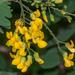 Calpurnia aurea - Photo (c) Rogério Ferreira, all rights reserved