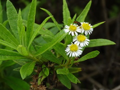 Darwiniothamnus lancifolius image