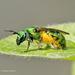Abejas Verde Metálico - Photo (c) Don Magnusson, todos los derechos reservados