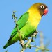 Yellow-collared Lovebird - Photo (c) WildNothos, all rights reserved