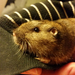 Botta's Pocket Gopher - Photo (c) Len Mazur, all rights reserved