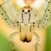 Arañas Linces - Photo (c) Alejandra Arroyave Muñoz, todos los derechos reservados