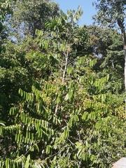 Tetrathylacium macrophyllum image