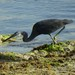 Western Reef-Heron - Photo (c) WildNothos, all rights reserved