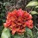 Bomarea multiflora - Photo (c) Liliana Jaramillo, todos os direitos reservados
