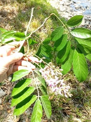 Lonchocarpus macrophyllus image