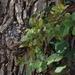Quercus engelmannii - Photo (c) microm, todos los derechos reservados, uploaded by Michele Roman