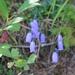 Campanula cespitosa - Photo (c) dj3freebear, όλα τα δικαιώματα διατηρούνται