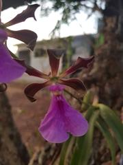Encyclia cordigera image
