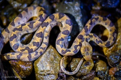 Northern Cat-eyed Snake - Photo (c) Laurent Hesemans, all rights reserved