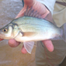 White Perch - Photo (c) Johnny Wilson, all rights reserved