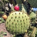 Chaparral Pricklypear - Photo (c) Richard Boult, all rights reserved