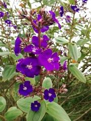 Tibouchina heteromalla image
