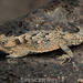 Desert Horned Lizard - Photo (c) spencer_riffle, all rights reserved