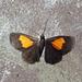 Drymoea veliterna - Photo (c) Peter Hoell, todos los derechos reservados