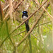 Japanese Paradise-Flycatcher - Photo (c) WK Cheng, all rights reserved