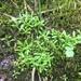 Stellaria fontinalis - Photo (c) Heidi Braunreiter, all rights reserved