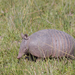 Southern Seven-banded Armadillo - Photo (c) Gustavo Masuzzo, some rights reserved (CC BY)