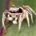 Habronattus mexicanus - Photo Kaldari, no known copyright restrictions (public domain)