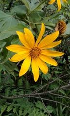 Image of Tithonia diversifolia