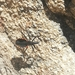 Mepraia spinolai - Photo (c) francisca vargas, todos los derechos reservados