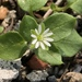 Common Chickweed - Photo (c) Kai Yang, all rights reserved