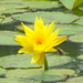 Yellow Waterlily - Photo (c) miriam, all rights reserved, uploaded by miriam