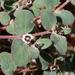 Euphorbia melanadenia - Photo (c) Jay Keller, todos los derechos reservados, uploaded by Jay L. Keller