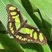 Siproeta stelenes meridionalis - Photo (c) Maristela Zamoner, todos los derechos reservados