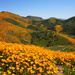California Poppy - Photo (c) Eric Koberle, some rights reserved (CC BY-NC)