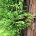 Secuoya Roja - Photo (c) johngcramer, todos los derechos reservados, uploaded by John Cramer III