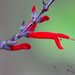 Pineapple Sage - Photo (c) Nagi Aboulenein, all rights reserved