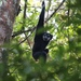 Agile Gibbon - Photo (c) peterthedragon, all rights reserved