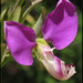 Polygala - Photo (c) RAP, some rights reserved (CC BY-NC)