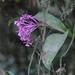 Epidendrum syringothyrsus - Photo (c) Declan Troy, todos los derechos reservados