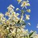Clematis brachiata - Photo (c) Andrew Anderson, όλα τα δικαιώματα διατηρούνται