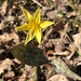 Beaked Trout-Lily - Photo (c) nurtured_n_nature, all rights reserved