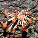 Calostilbe striispora - Photo (c) Marcos Silveira, todos los derechos reservados