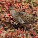 New Zealand Buff-banded Rail - Photo (c) Alan, all rights reserved