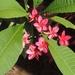 Mexican Plumeria - Photo (c) Lydce Cristina Damasceno, all rights reserved