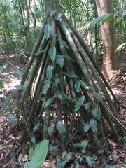 Socratea exorrhiza image