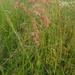 Pastos Rosados - Photo (c) Sylvia Brummer, todos los derechos reservados
