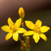 Bulbine Lily - Photo (c) Rolf Lawrenz, all rights reserved